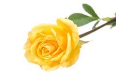 Yellow rose. Bud isolated on white Royalty Free Stock Photo