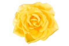 Yellow rose. Bud isolated on white Stock Photo