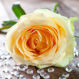 A yellow rose Stock Image