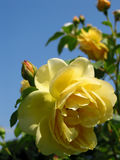 Yellow rose. Macro of yellow rose with sky in the background Stock Photo