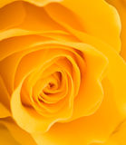 Yellow rose. Macro image of an yellow rose, background Royalty Free Stock Images