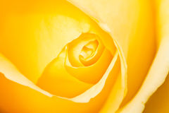 Yellow Rose. Close up of a yellow rose that has not opened completely Royalty Free Stock Photography