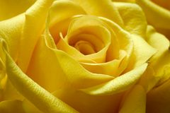 Yellow Rose 2. A Yellow Rose up close with a macro lens Stock Images