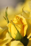 Yellow rose. Royalty Free Stock Photography