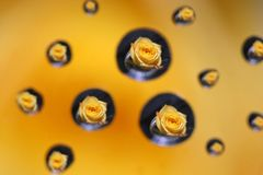 Yellow rose Stock Images