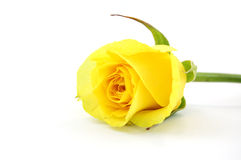 Yellow Rose. On white isolated royalty free stock images