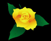 Yellow rose. Rose with yellow petals and green leaves on a black background Royalty Free Stock Photos