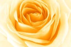 Yellow Rose. Closeup of yellow rose, delicate and unfolding petals Stock Photos