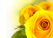 Yellow rose. Stock Image