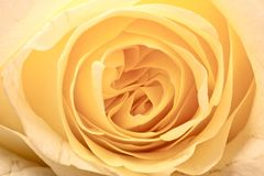 Yellow Rose. Orange-Yellow Creamy Rose - Macro Photo. Floral Background Stock Photo