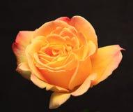 Yellow Rose. On black background Stock Image