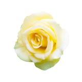 Yellow rose. Isolated on white background Royalty Free Stock Photo