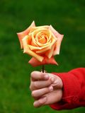 Yellow rose. Child hand holding a rose royalty free stock photos