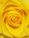 Yellow rose. The perfect center formation of a brilliantly colored yellow rose Royalty Free Stock Photo