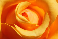 Yellow rose. Close up of yellow rose Royalty Free Stock Photo
