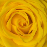 Yellow rose. Macro of the heart of a yellow rose Stock Photo