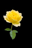 Yellow Rose. Isolated yellow rose in black Royalty Free Stock Photography