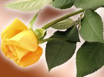 Yellow rose. A yellow rose on a brown background Stock Photography