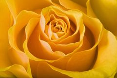 Yellow Rose. Close-up of yellow rose royalty free stock photos