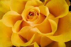 Yellow Rose. Close-up of yellow rose stock images