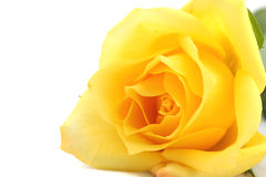 Free Yellow Rose Royalty Free Stock Photography - 3680907