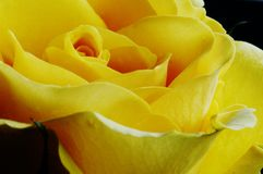 Yellow rose. Macro close-up of a yellow Johannesburg Sun rose Stock Images
