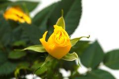 Yellow rose Royalty Free Stock Photo