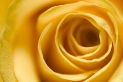 Yellow Rose 4. Macro detail image of a beautiful yellow rose Stock Photography