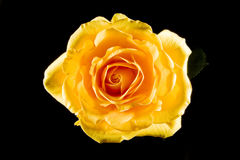 Yellow rose. Close up of a yellow rose isolated on black background Stock Photos