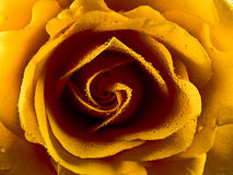 Yellow rose. Close up of a yellow rose Royalty Free Stock Photo