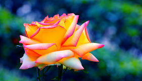 Free Yellow Rose Royalty Free Stock Images - 40773319