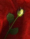 Yellow rose. On red background Stock Photos