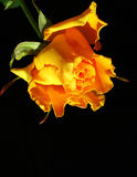 Yellow Rose. Flower in the sunset Stock Photography