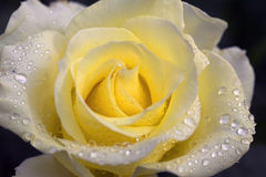 Yellow Rose. Close up of yellow rose with water drops on black background Stock Images