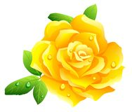 Free Yellow Rose Royalty Free Stock Photos - 5517198