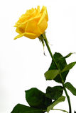 Yellow rose. Single yellow rose on a white background Stock Images
