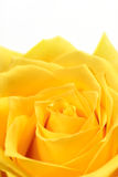 Yellow rose. Single yellow rose on a white background Royalty Free Stock Photography