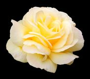 Free Yellow Rose Royalty Free Stock Images - 6001589