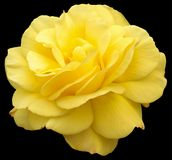 Yellow rose Royalty Free Stock Photography