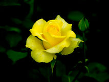 Yellow Rose. Close view of beautiful Yellow Rose Stock Image