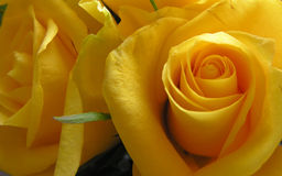 Yellow rose. Macro of a yellow rose Stock Image