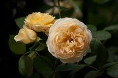 Yellow Rose Στοκ φωτογραφίες με δικαίωμα ελεύθερης χρήσης