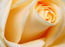 Yellow rose. Stock Photos