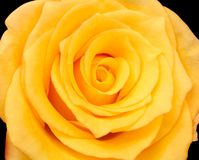 Yellow Rose. Close up yellow rose royalty free stock photos