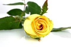 Yellow rose. Close-up yellow rose stock image