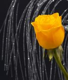 Yellow rose. Rose on black royalty free stock images