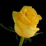 Yellow rose Stock Image