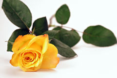 Yellow rose. Over white, shallow depth of field with focus on bloom Royalty Free Stock Image