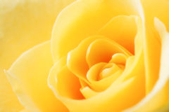 Yellow Rose. Close up of a yellow rose. Soft focused Stock Image