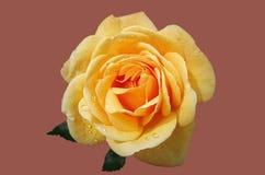 Yellow rose Royalty Free Stock Photos